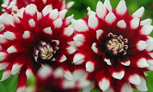 Zone 3 Flowers And Plants Red Perennials Dahlia Summer Bulbs