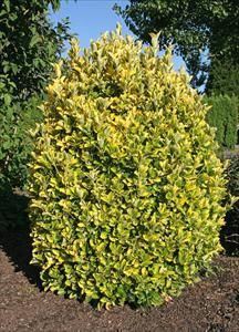 Euonymus Onicus Chollipo Pnw Plants Zone 6 7 Evergreen Shrub 12 H X W Full Sun No Pests