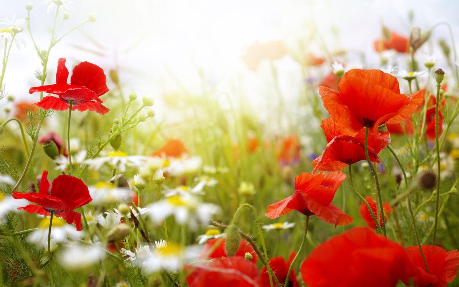 Spring Spring Flowers Wallpaper Hd Desktop Widescreen For