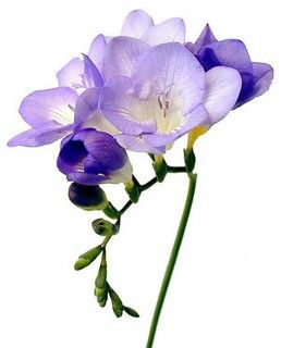 Freesia Year Round Most Colors Are Available Except For Blue A Couple Of Stems Are All That S Needed To M Fresia Flower Freesia Flowers Wholesale Flowers
