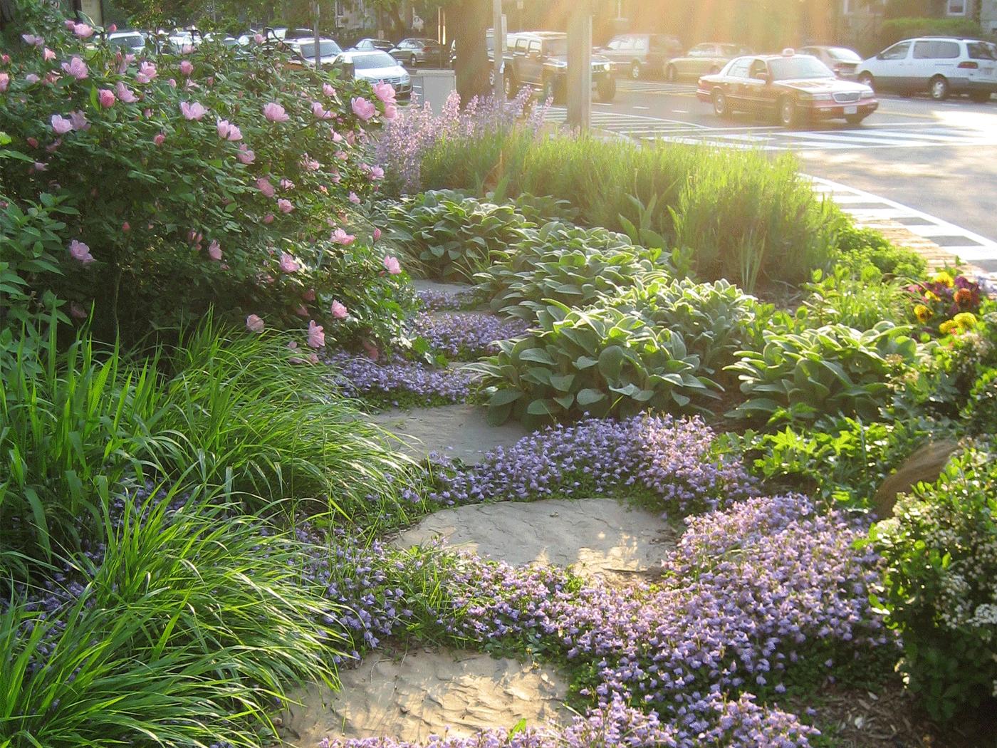 Ground Cover Mazus Reptans In Lavender Backyard