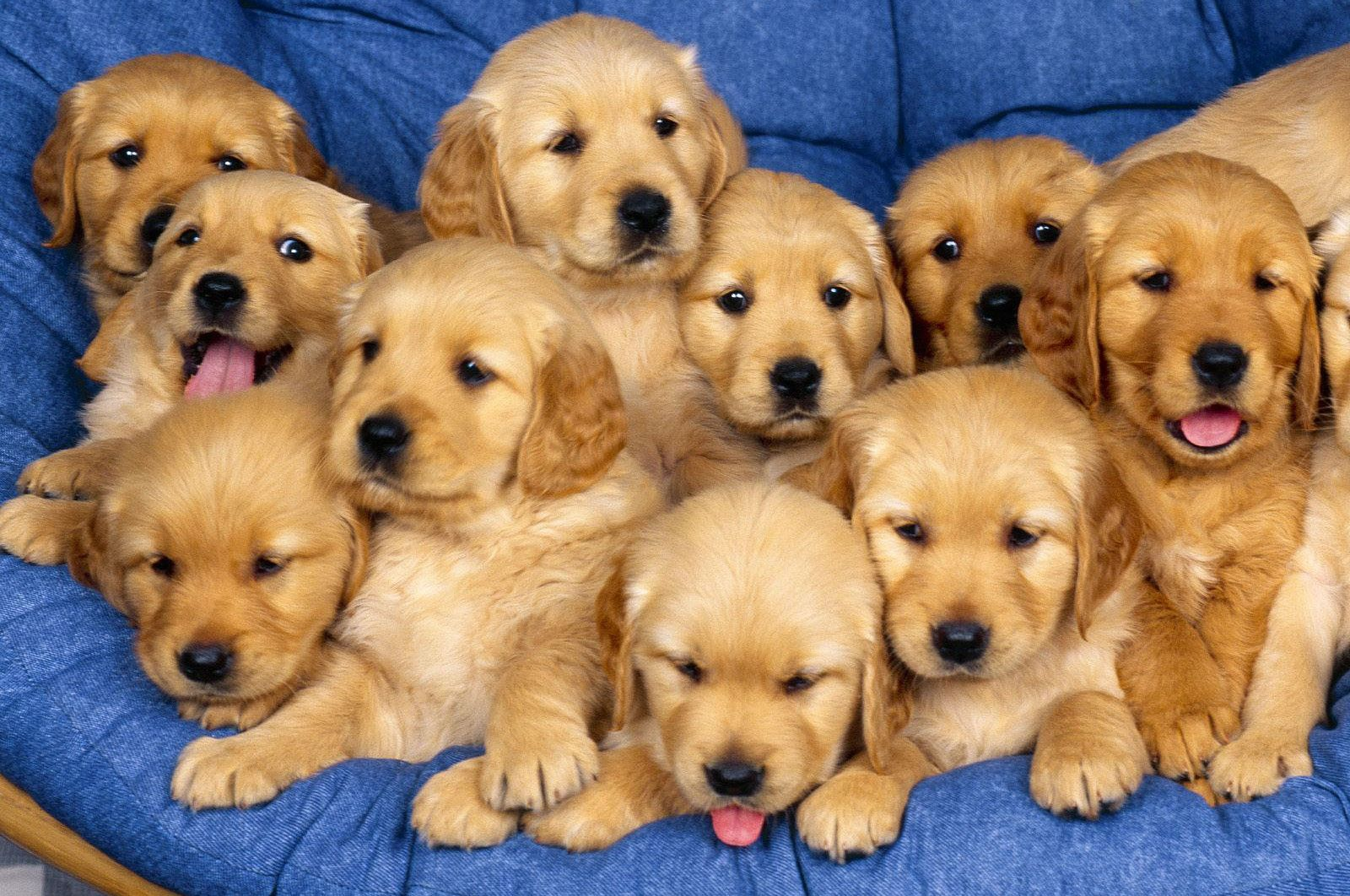 Cute Golden Retriever Puppies Dog Picture Cute Golden Retriever