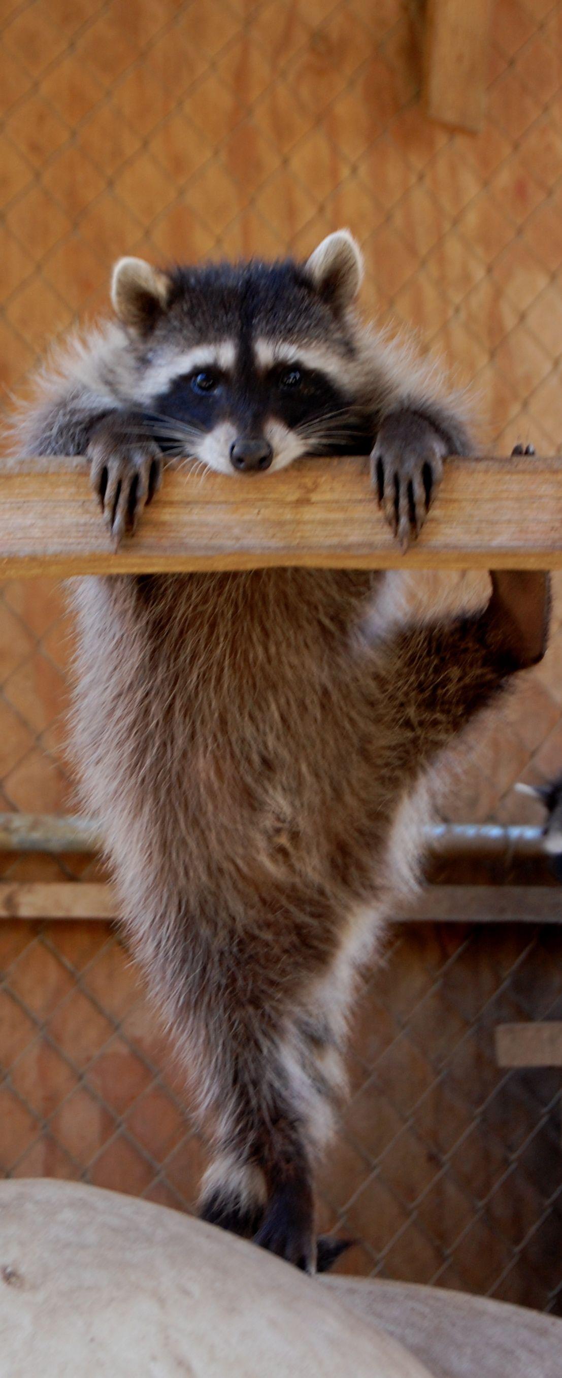 Les ratons laveurs sont mes amis :) | Animals | Pinterest | Raccoons ...