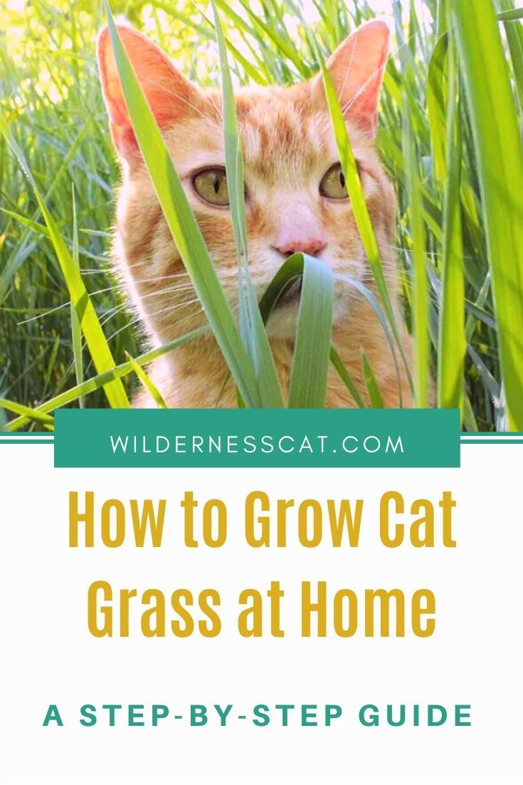Why Do Cats Eat Grass What You Need To Know In 2020 Cat Grass Natural Cat Cat Nutrition