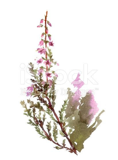 Isolated Blossoming Heather Flower Watercolor Botanical Illustration Heather Flower Watercolor Flowers Watercolor Tattoo Flower