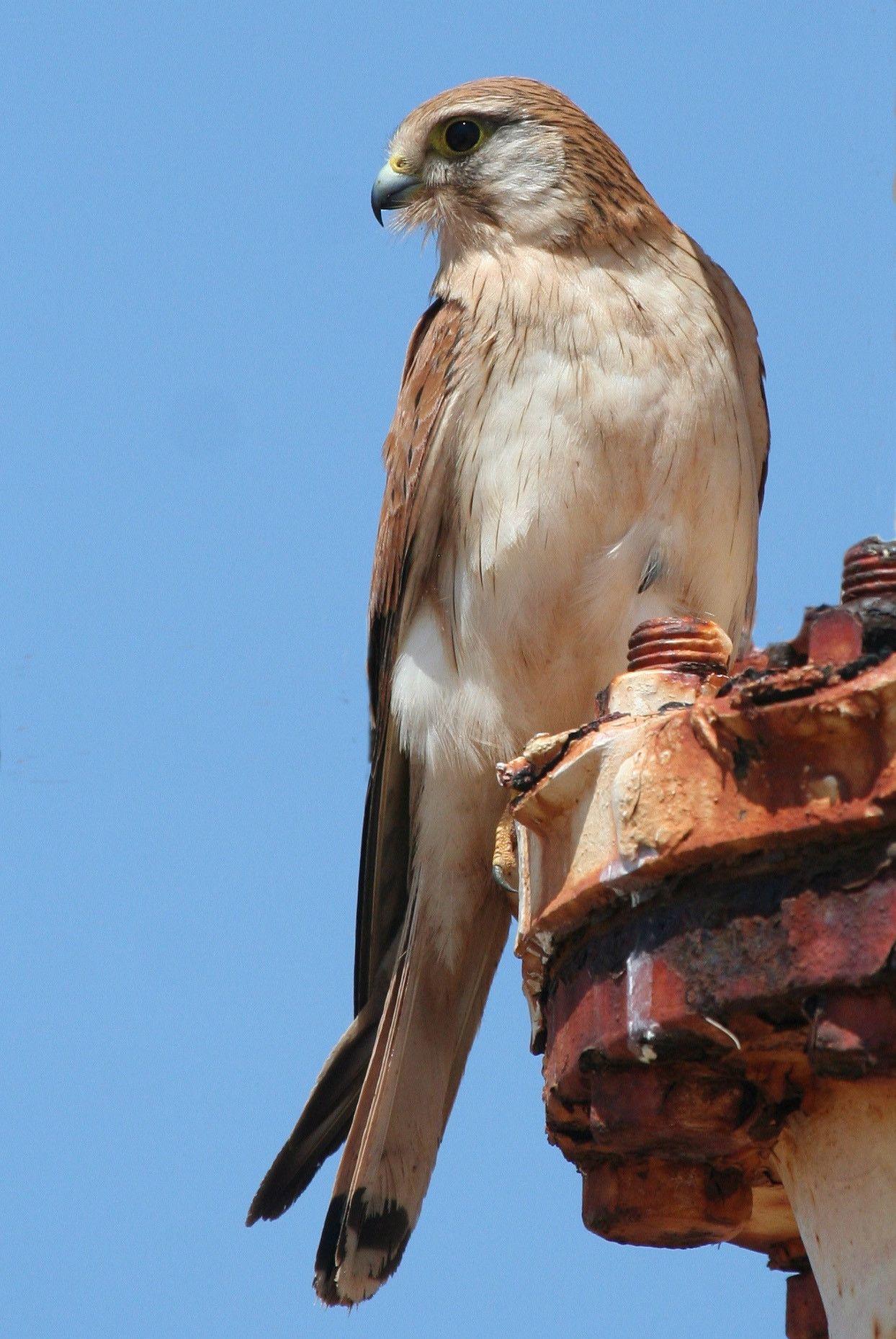 Nankeen Kestrel Australian Birds Pet Birds Birds Of Prey