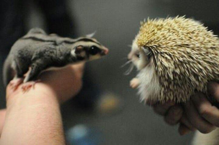 Hedgehog vs sugar glider
