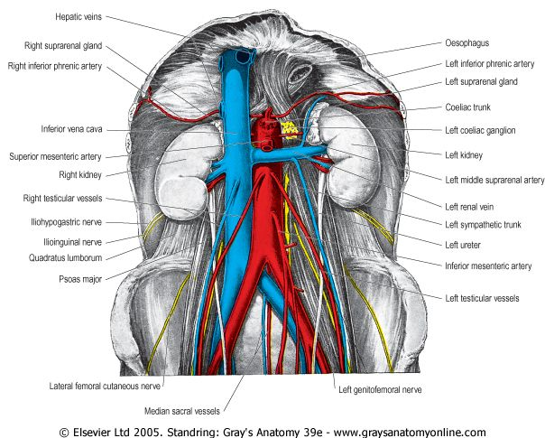 pictures of the aorta and inferior vena cava | the abdominal aorta, Human body