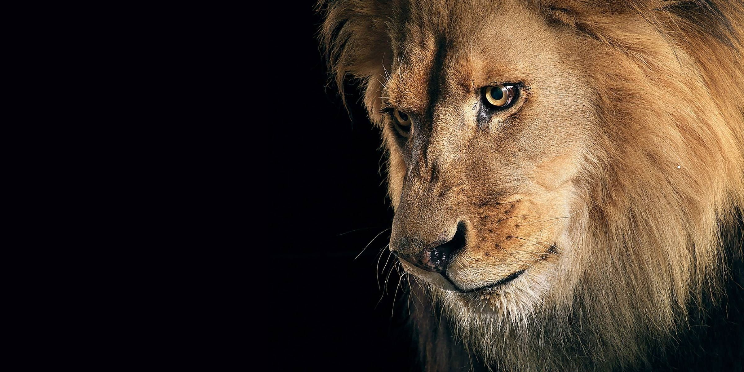 sad lion hd wallpaper hd wallpapers | leo the lion | pinterest | hd