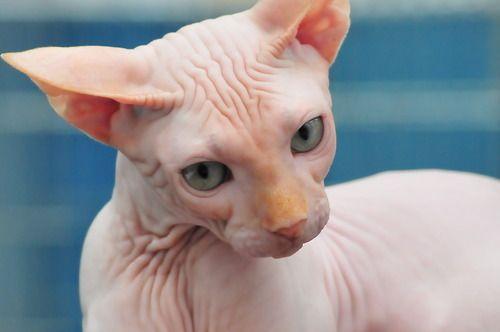 Sphinx Cat 3 Animais