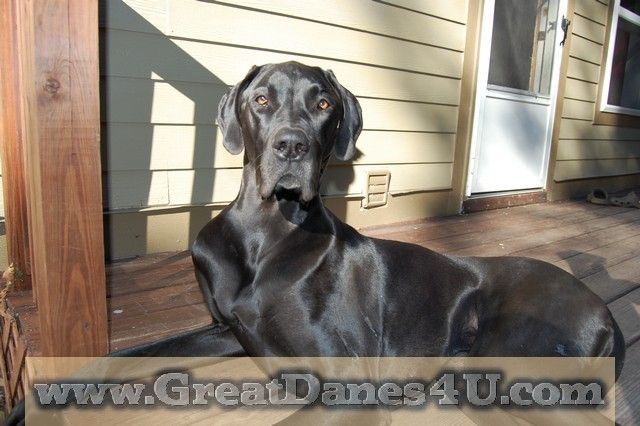 Ellie A Black Female Great Dane Lives In Catskill Ny Great