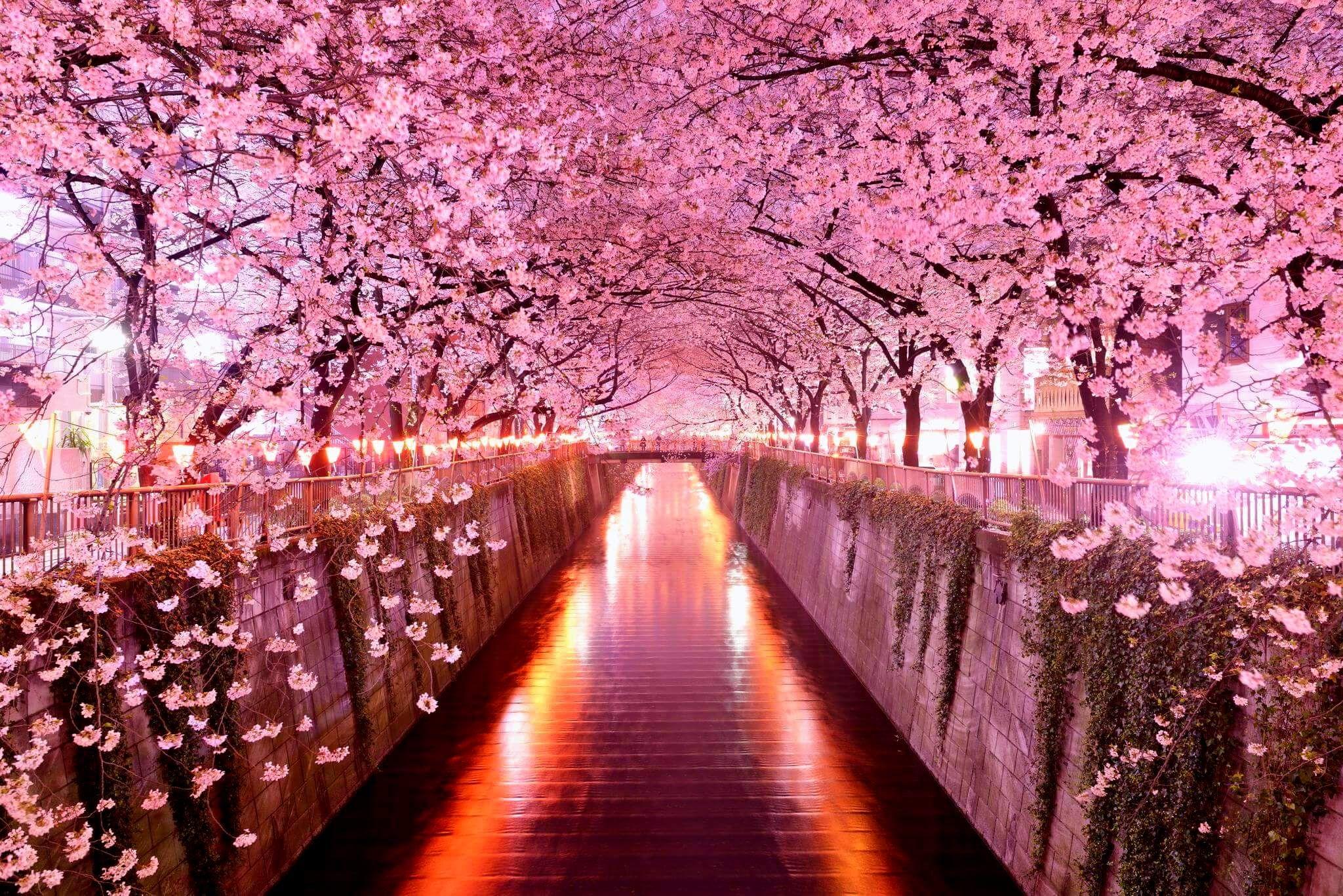 Japan S Cherry Blossoms Wisteria Tree Cherry Blossom Wallpaper Tree Tunnel
