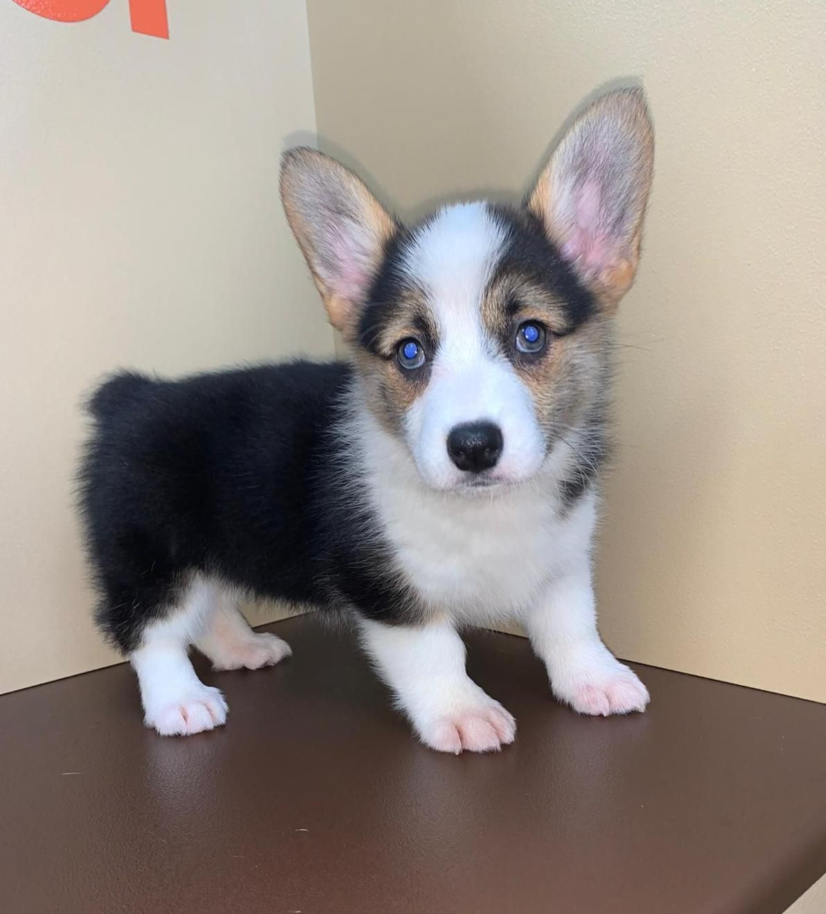 Puppies For Sale in 2020 Puppies, Puppy eyes,
