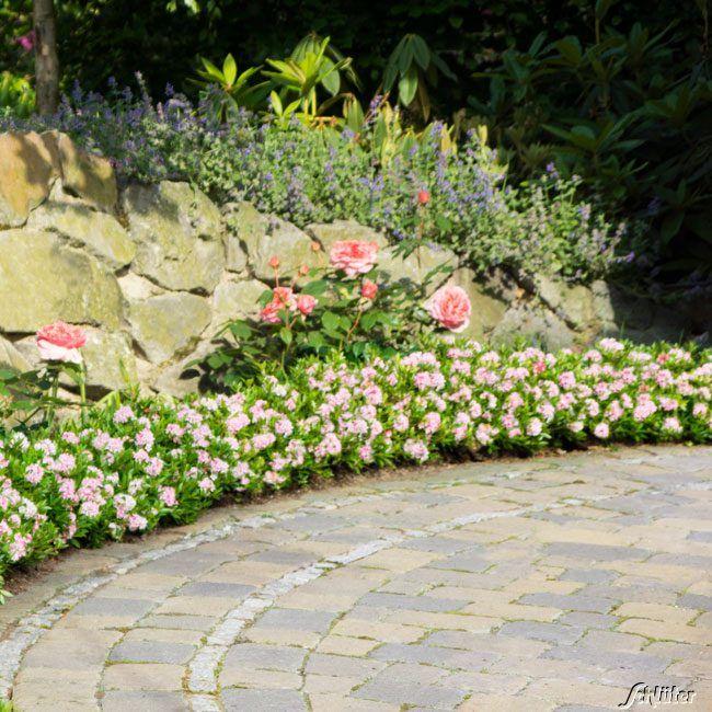 rhododendron nugget by 39 bloombux 39 der bl hende buchsbaumersatz rhododendron micranthum. Black Bedroom Furniture Sets. Home Design Ideas