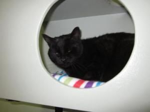 Cosby 95D is an adoptable Domestic Short Hair Cat in Salem, OR. Cosby - Male DSH - Black Animal ID -   18829209  Hi, I am Cosby and I am glad to meet you. If you look at me really close you will see t...