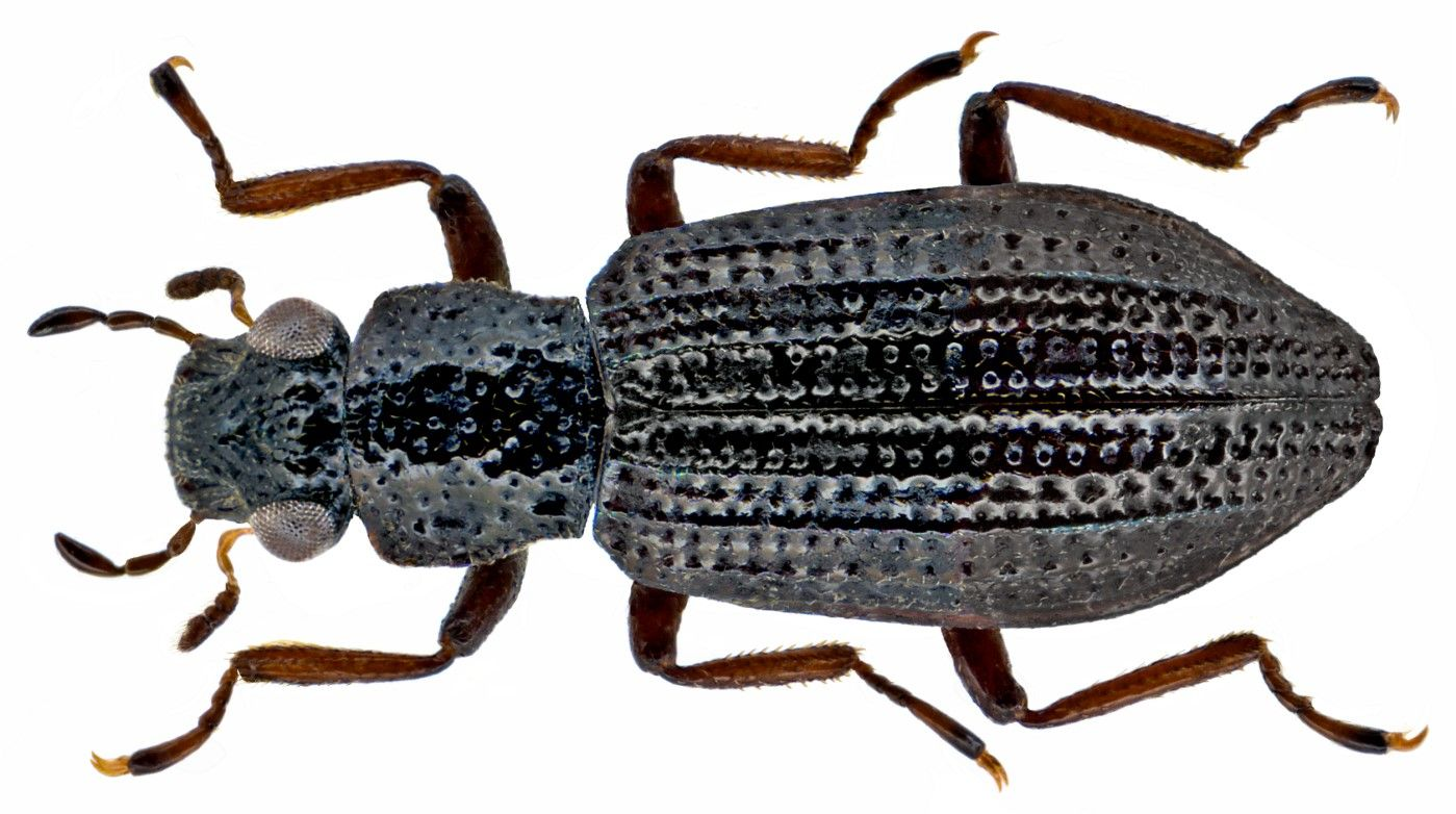 Hydrochus carinatus