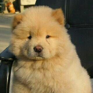 Most Inspiring Chow Chow Chubby Adorable Dog - 9346e1b834ecb1cd2dda5721523e1cc2  Gallery_146558  .jpg