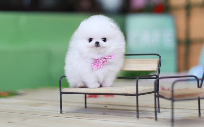 Teacup Pomeranian What S Good And Bad About Em Teacup Pomeranian Pomeranian Puppy Pomeranian Puppy Teacup