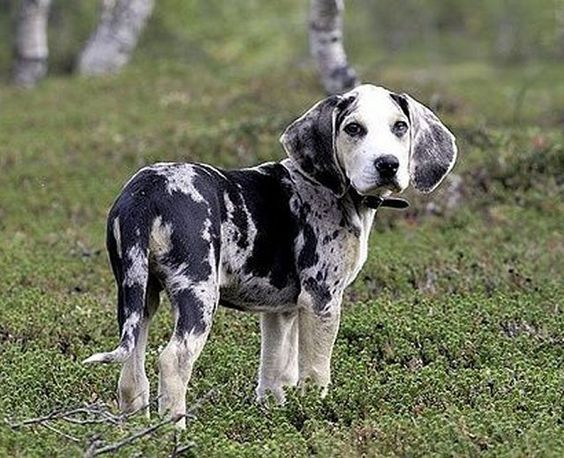 A Dunker also known as the Norwegian Hound is a medium sized