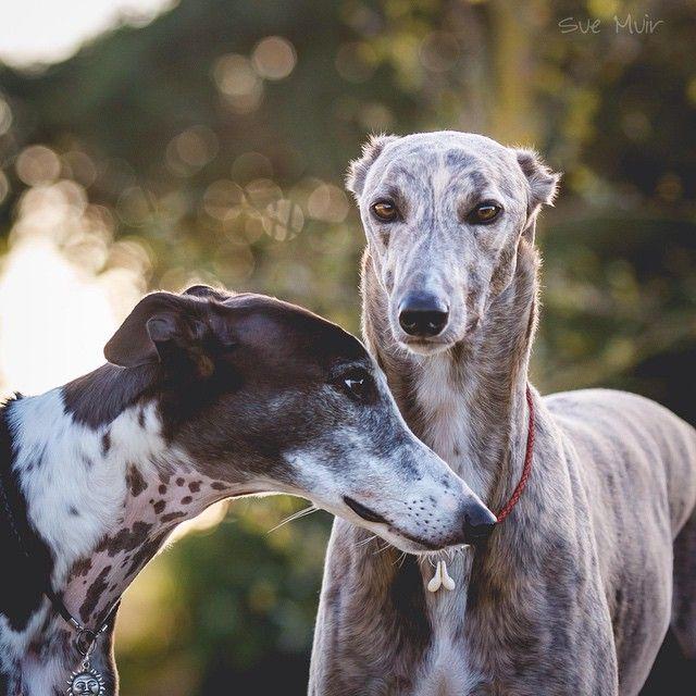 Beryl And Asher A Tender Moment 3 Grey Hound Dog Greyhound Dog Rescue Greyhound Puppy