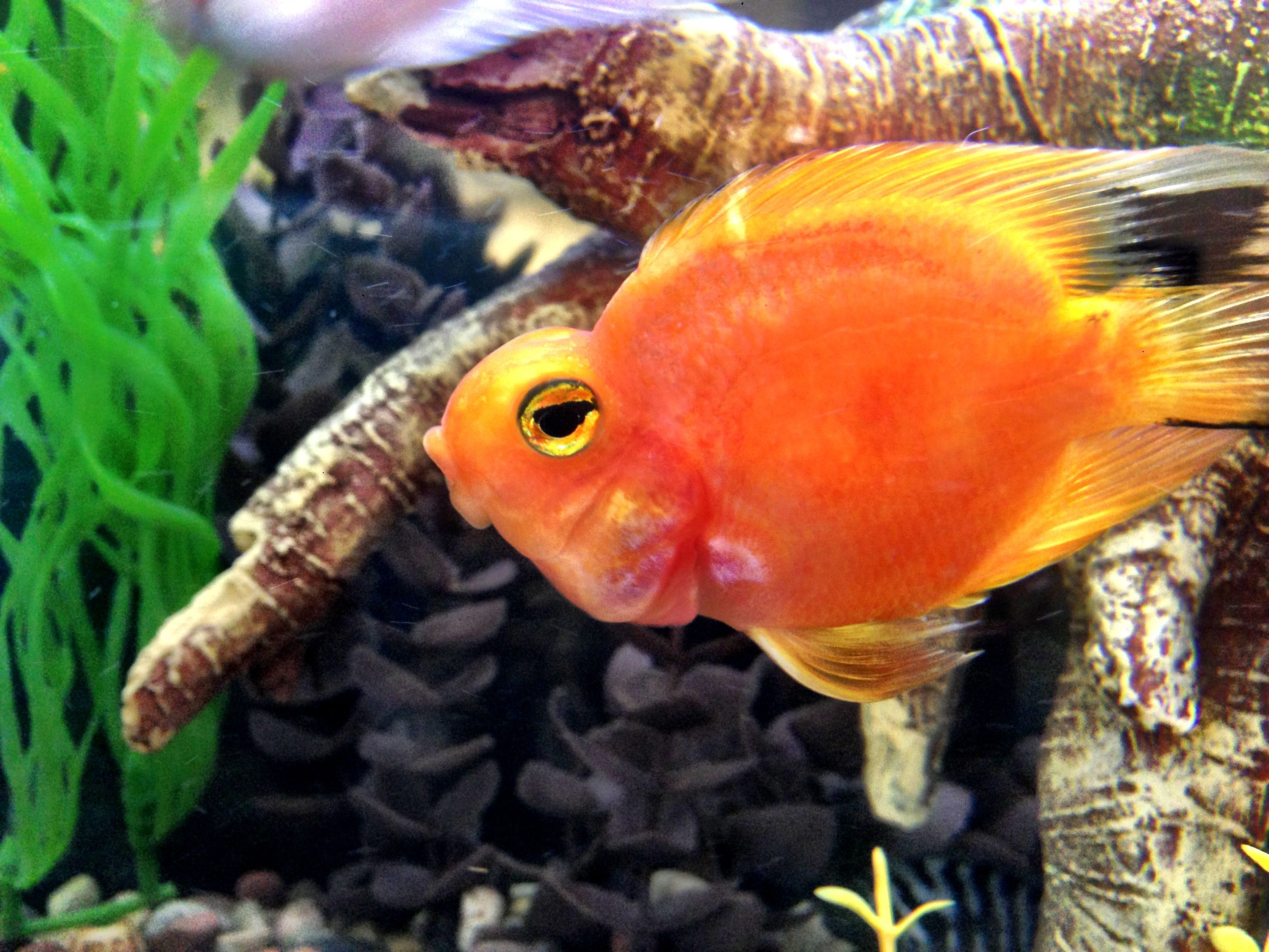 blood parrot cichlid in my tank | Cichlid Fishtank | Pinterest