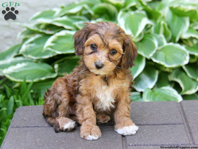 Cavapoo Puppies A Complete Guide for this breed