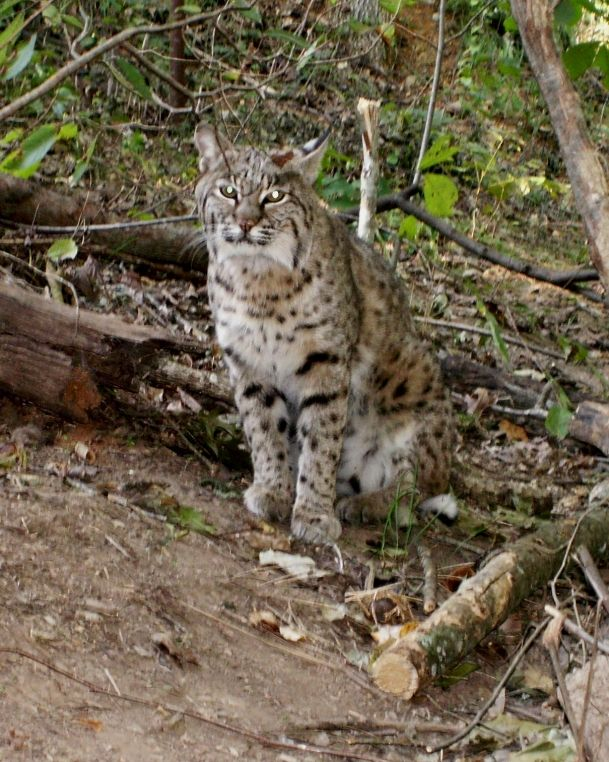 Bobcat Kittens For Sale Lynx Rufus Bobcats Maine Coon Other