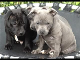English Staffy Pups Too Cute Nanny Dog Pitbull Puppies Cute Animal Photos