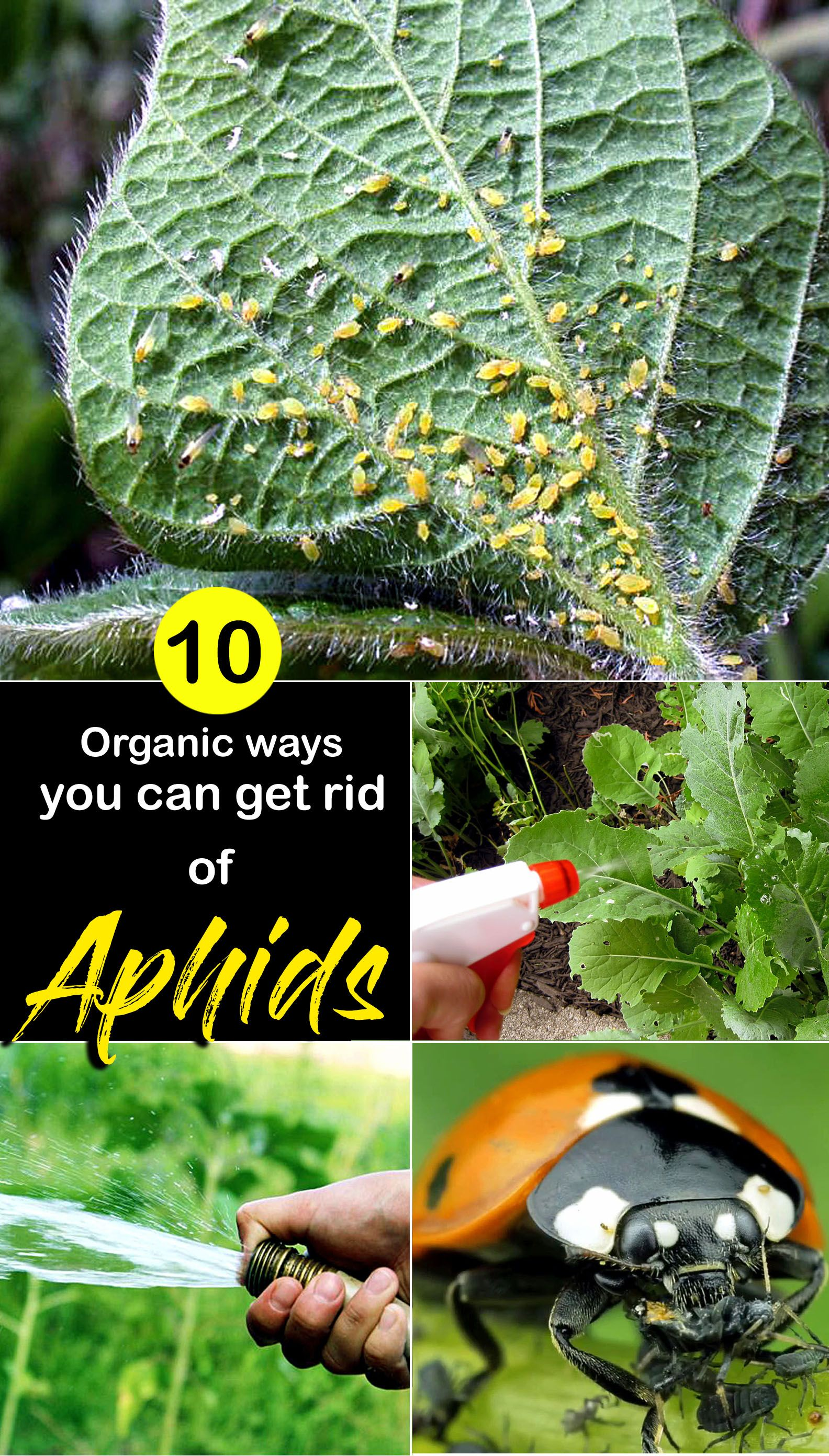 How to get rid of aphids get rid of aphids garden care
