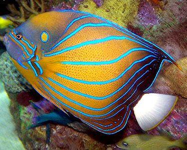 Annularis Angelfish Pomacanthus Annularis Discussion Weird Sea Creatures Saltwater Aquarium Fish Sea Fish