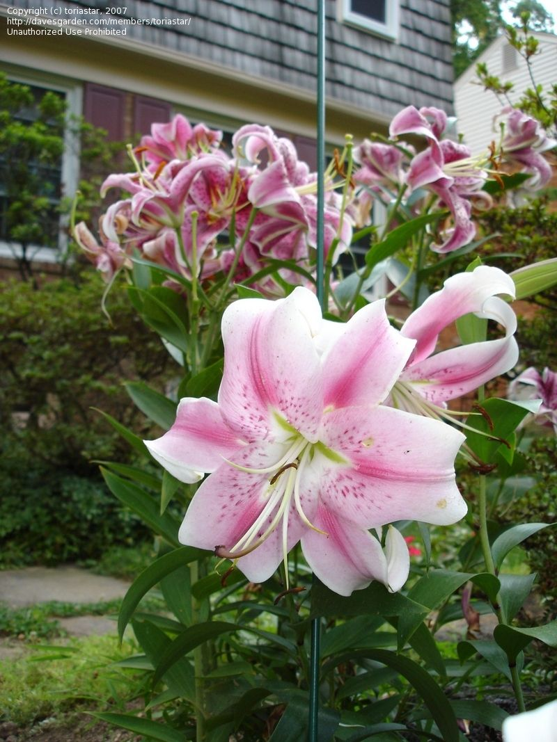 Pin by colleen wallin on garden pinterest lilium flowers and oriental tree lily care tips for growing and caring tree lilies in the garden home and gardens izmirmasajfo
