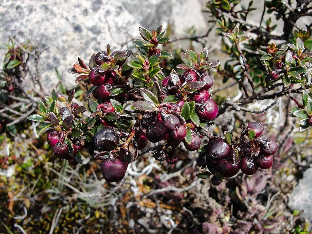Pernettya Prostrata.Pernettya Prostrata Volcan Sincholagua Volcano Andes Plants