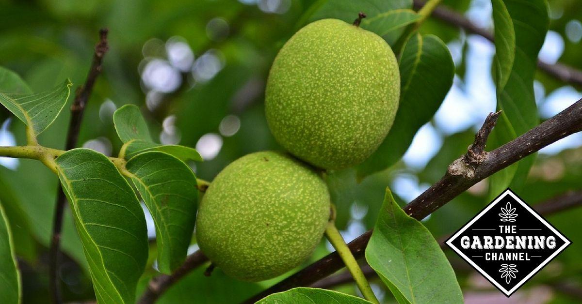 35++ Where do black walnut trees grow info