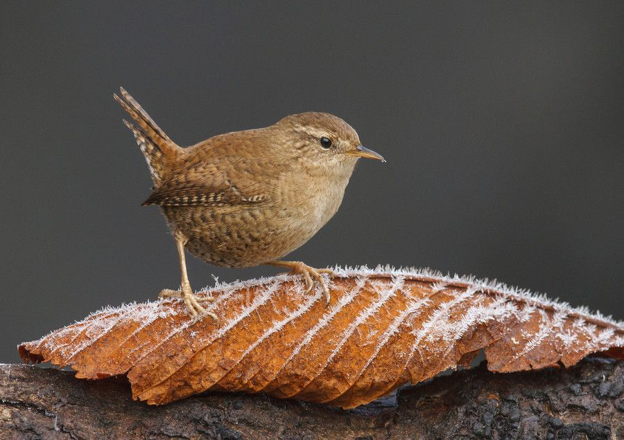 Wren A Touch of Frost by John Barlow on 500px