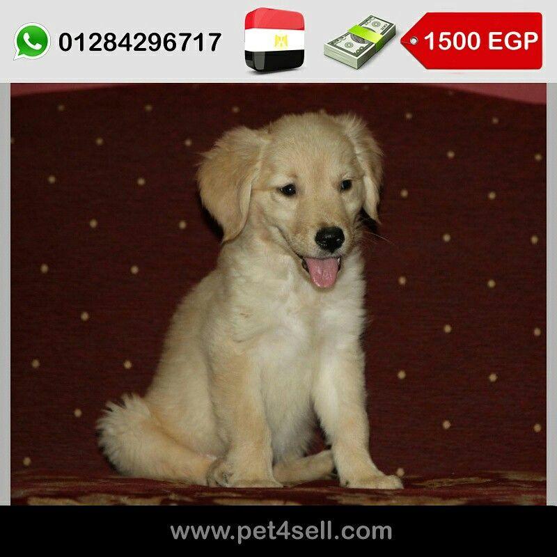 Egypt Cairo Golden Retriever Puppies 4 Sale 1 Male 2 Females Pet4sell Golden Retriever Retriever Puppy Retriever