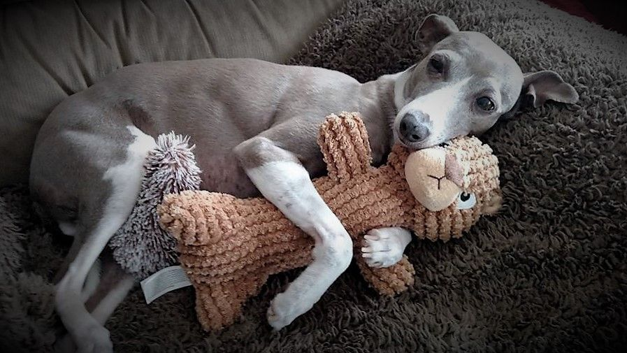 Snuggle buddies! #cuddle #snuggle #greyhound | Iggies ...
