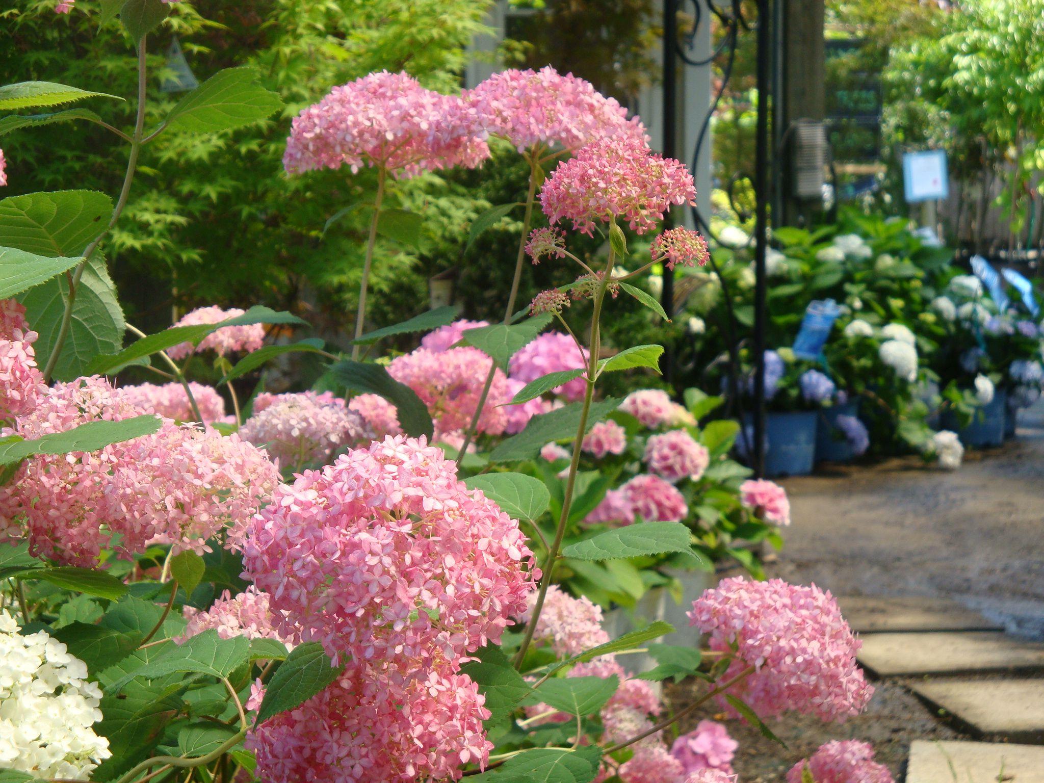 Invincibelle spiritu hydrangea beautiful pink blooms beautiful