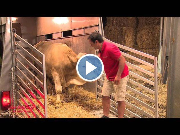 This Bull Was Chained His Whole Life Now Watch His Reaction To
