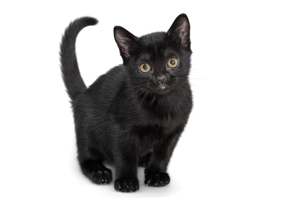 The Bombay Cat Breed History Fun Facts And Myths In 2020
