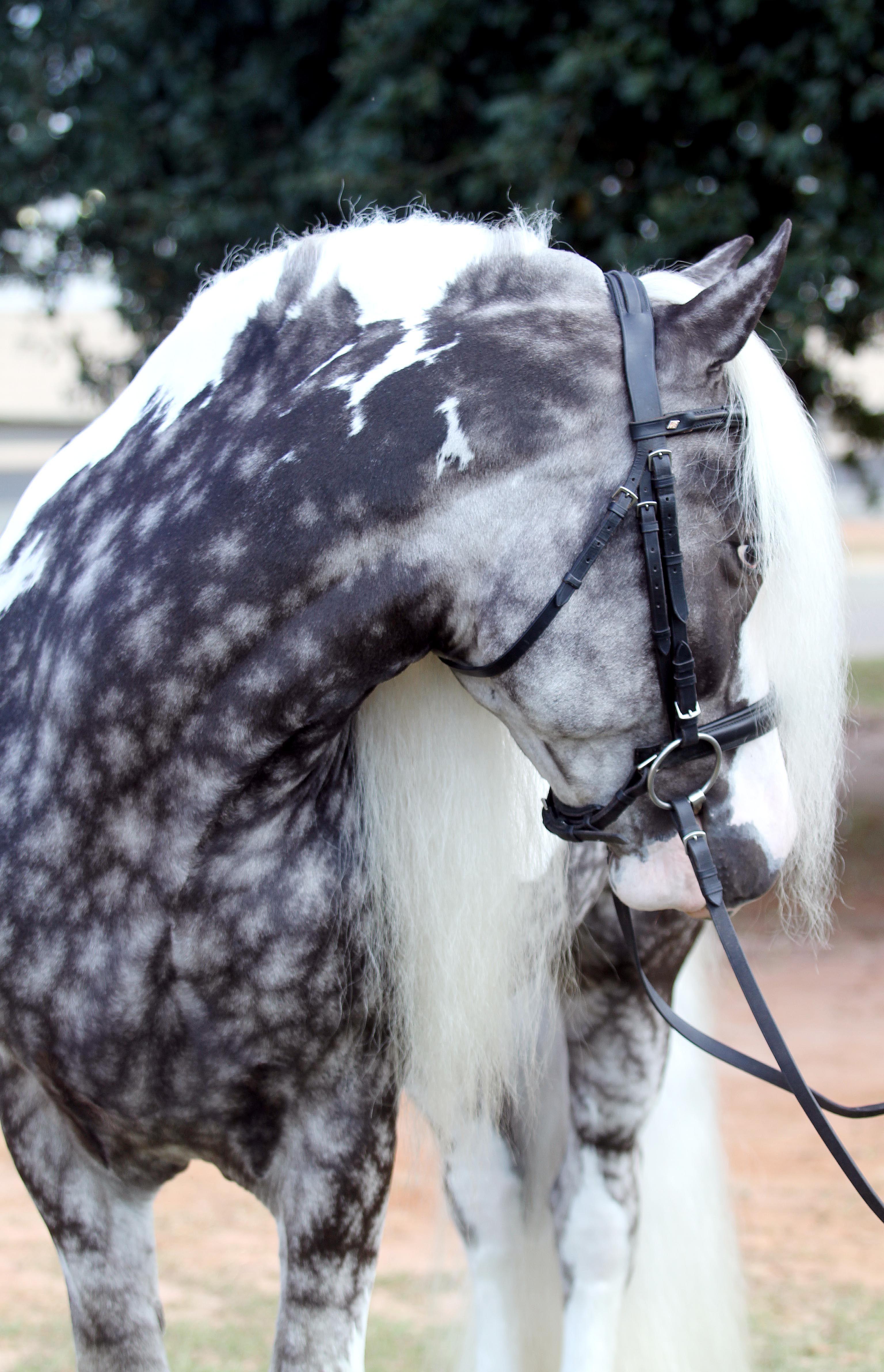 Gypsy Stallion Dapple Grey Mystical Photography Head