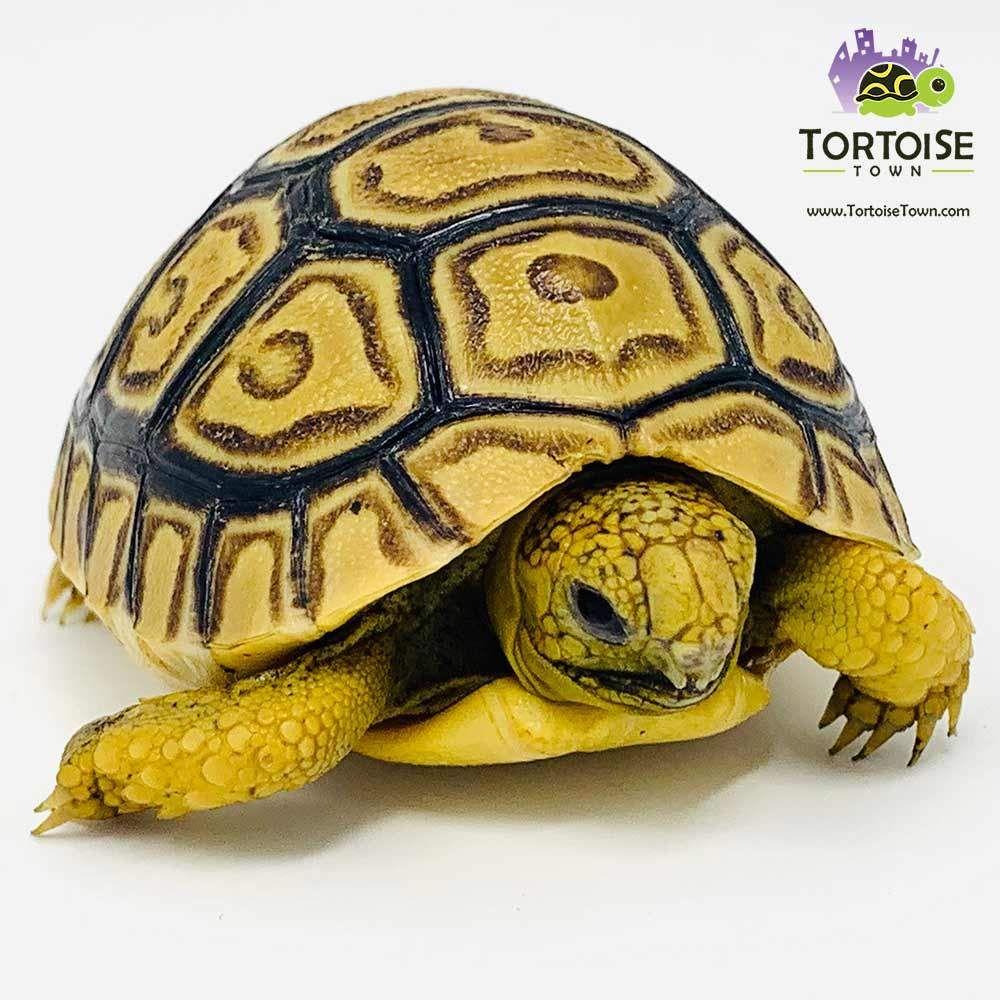 Sulcata Tortoise Sulcata Tortoise For Sale Sulcata Tortoise
