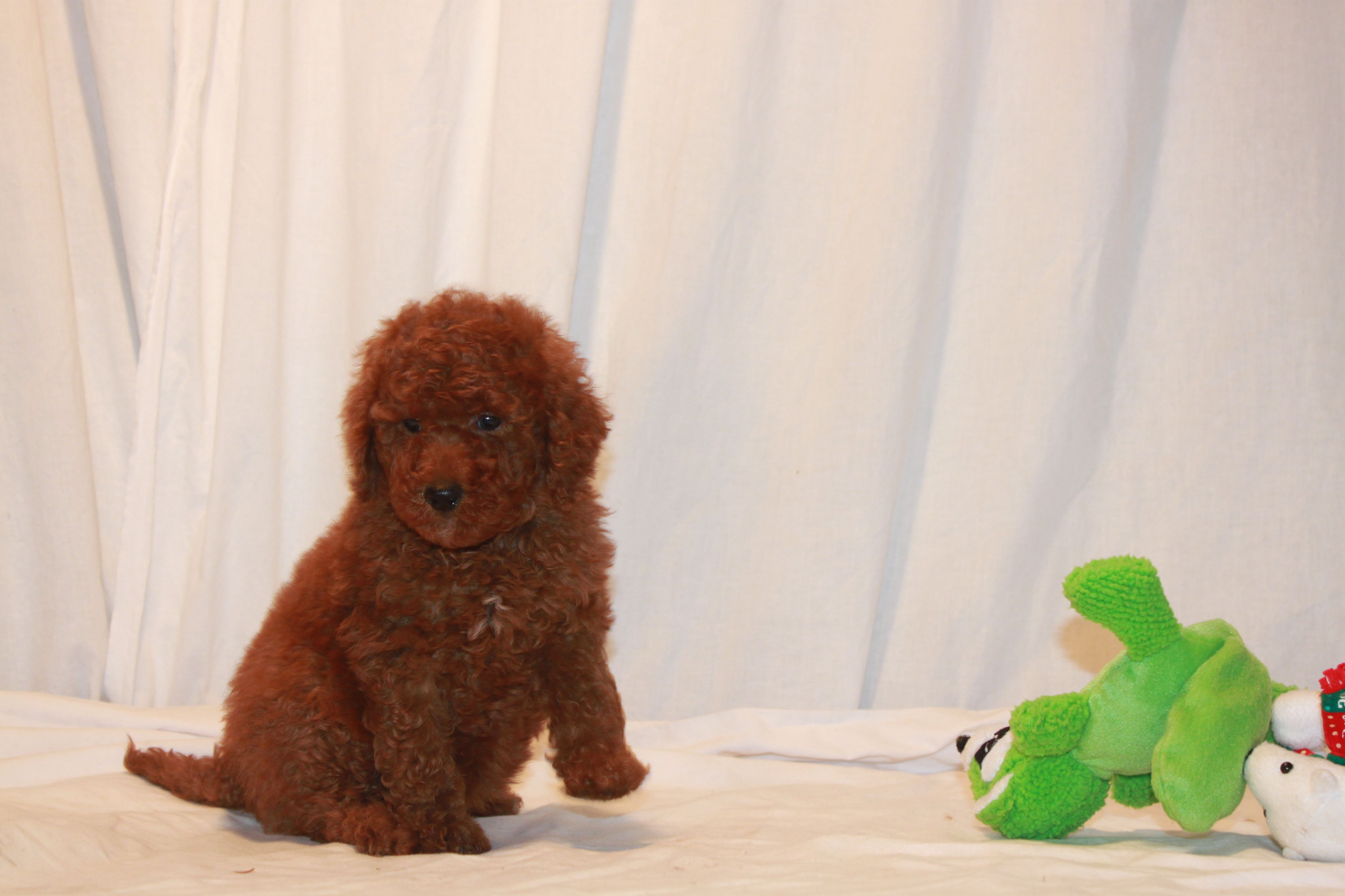 Rare Red Moyen Poodle Sweet Boy Chip 4217 Scarlet S Fancy