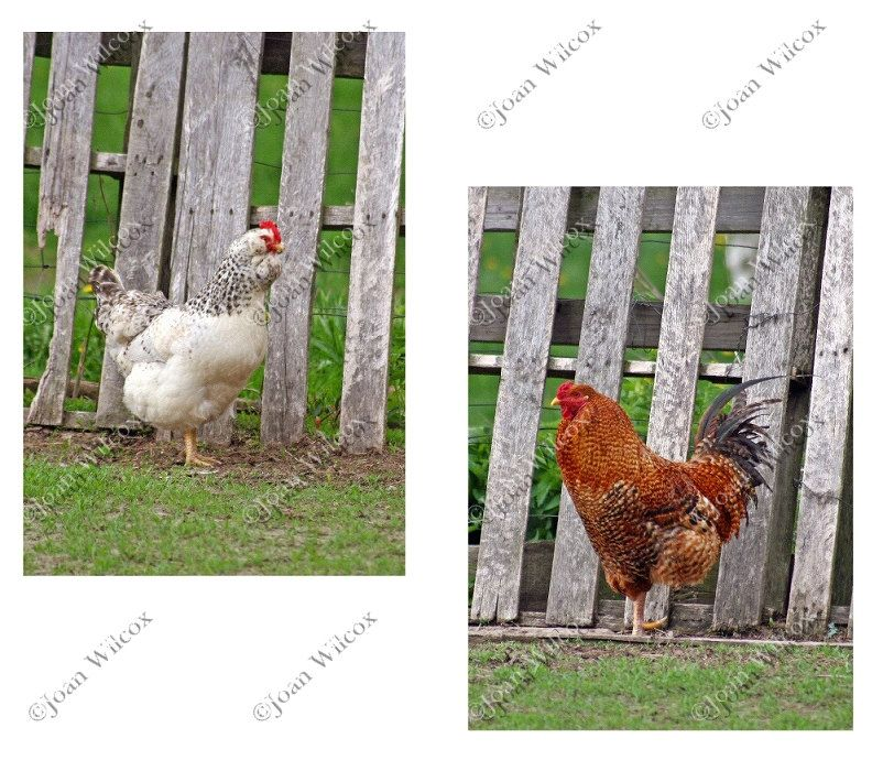 Set of 2 Rooster & Hen Chicken Bird Farm Photos Fine Art Photography Photo Prints - pinned by pin4etsy.com