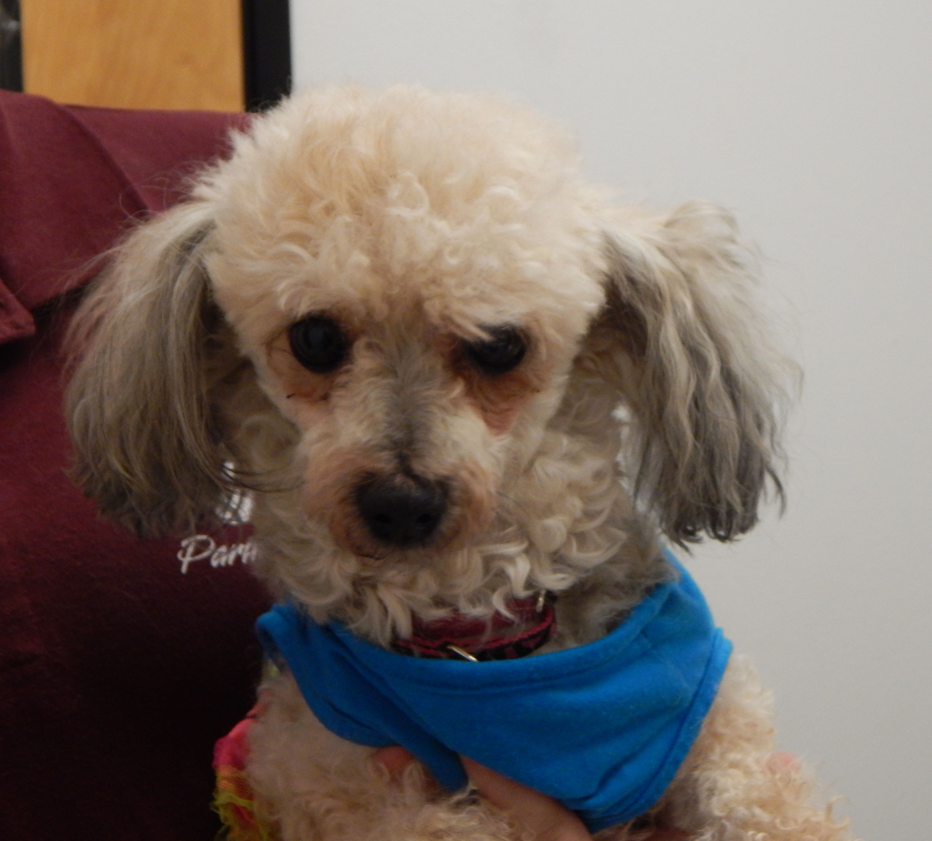 Terri is a sweet 5yearold Miniature Poodle who weighs 14