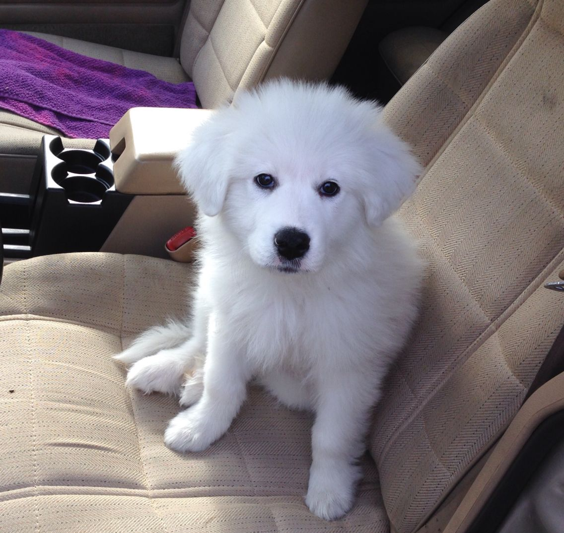 My Great Pyrenees Puppy Echo 10 Weeks Old Great Pyrenees