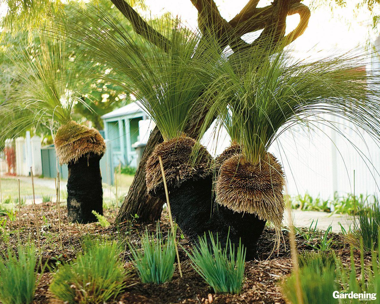 Xanthorrea Garden Plants Design Australian Native Garden Australian Native Plants