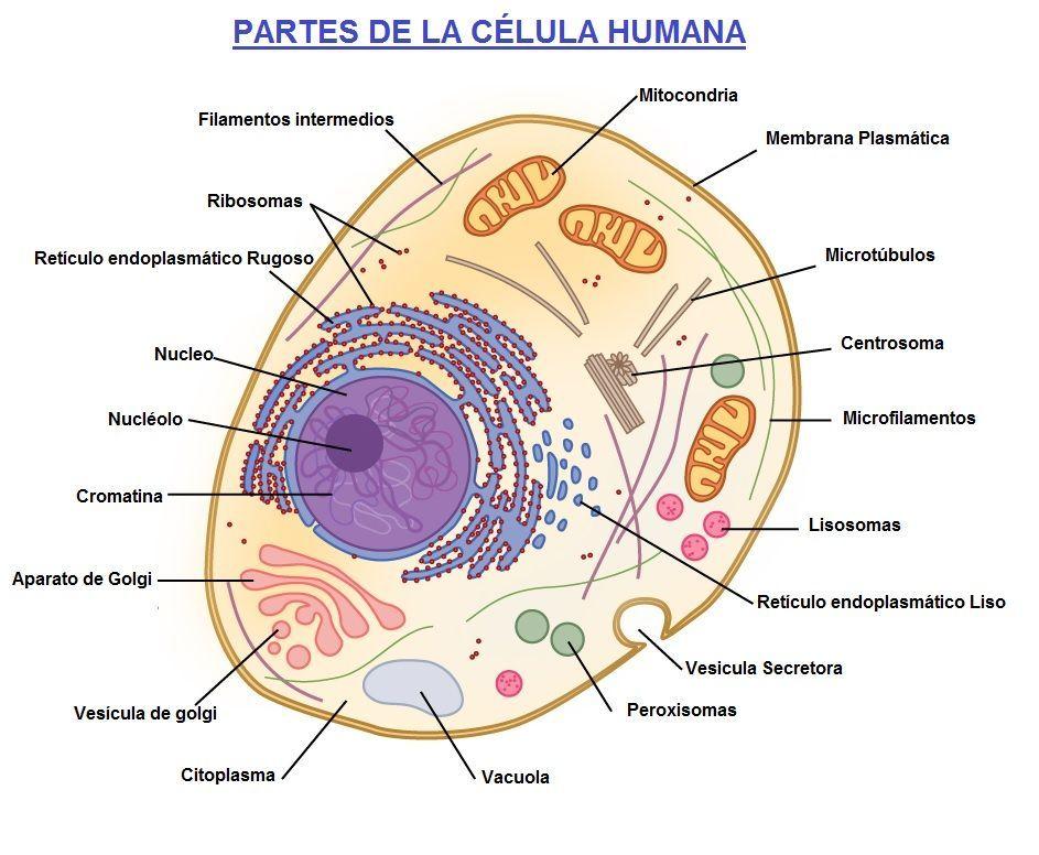 celula humana y sus partes   Anatomía   Pinterest   Biología ...