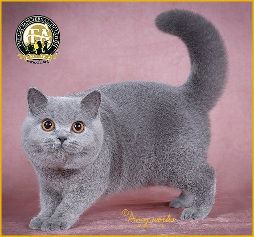 Gc Nw She Li Cat Cinderella Blue Female British Shorthair 19th Best Kitten In China British Shorthair British Shorthair Cats Cool Cats