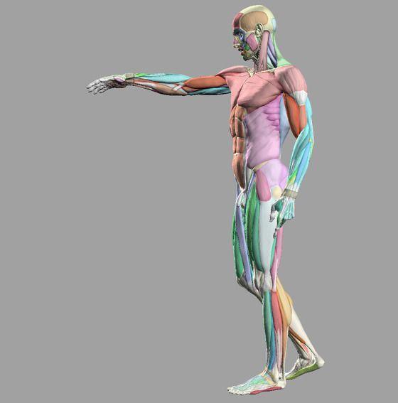 Image-137787-full | Anatomical References | Pinterest | Anatomy ...