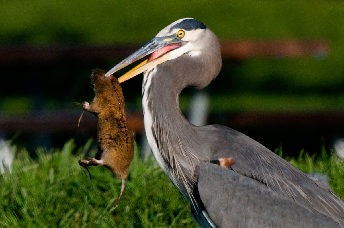 Great Blue Heron with prey __ photo by Walter Kitundu